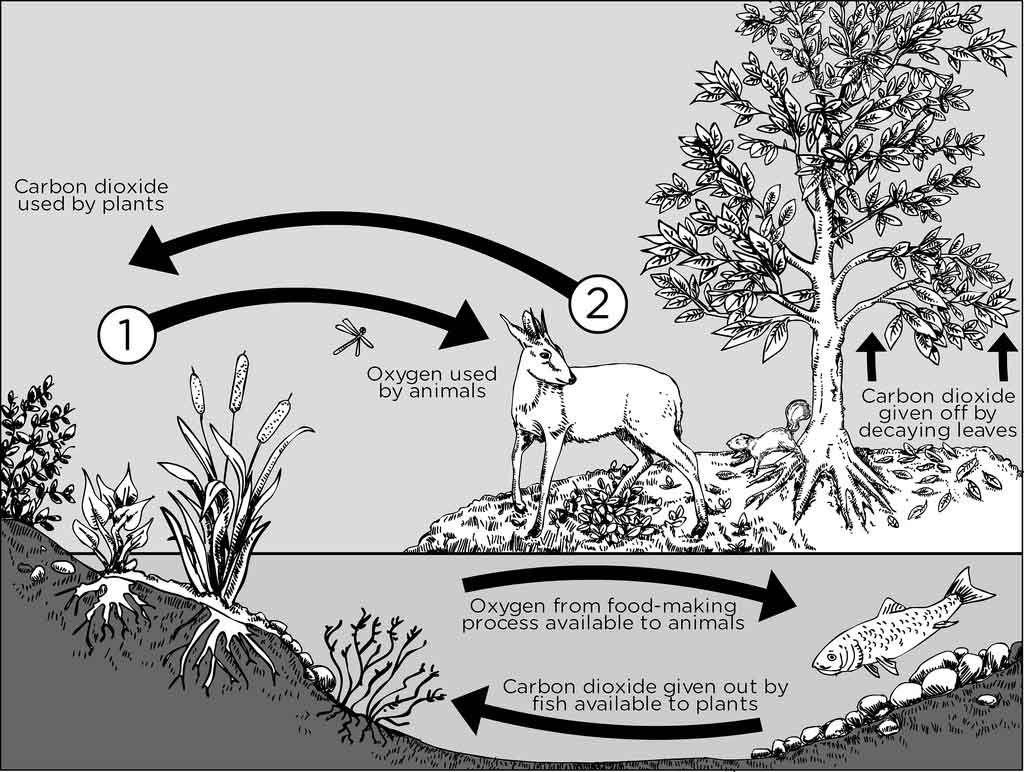 carbon cycle definition explanation steps diagram examples [ 1024 x 772 Pixel ]