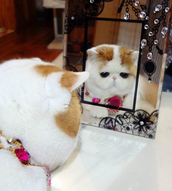 Snoopy Cat แมว