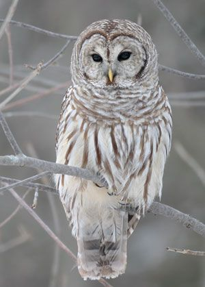 Beautimous.  Google Image Result for http://aviary.owls.com/uploads/images/barred_owl_Strix-varia.jpg
