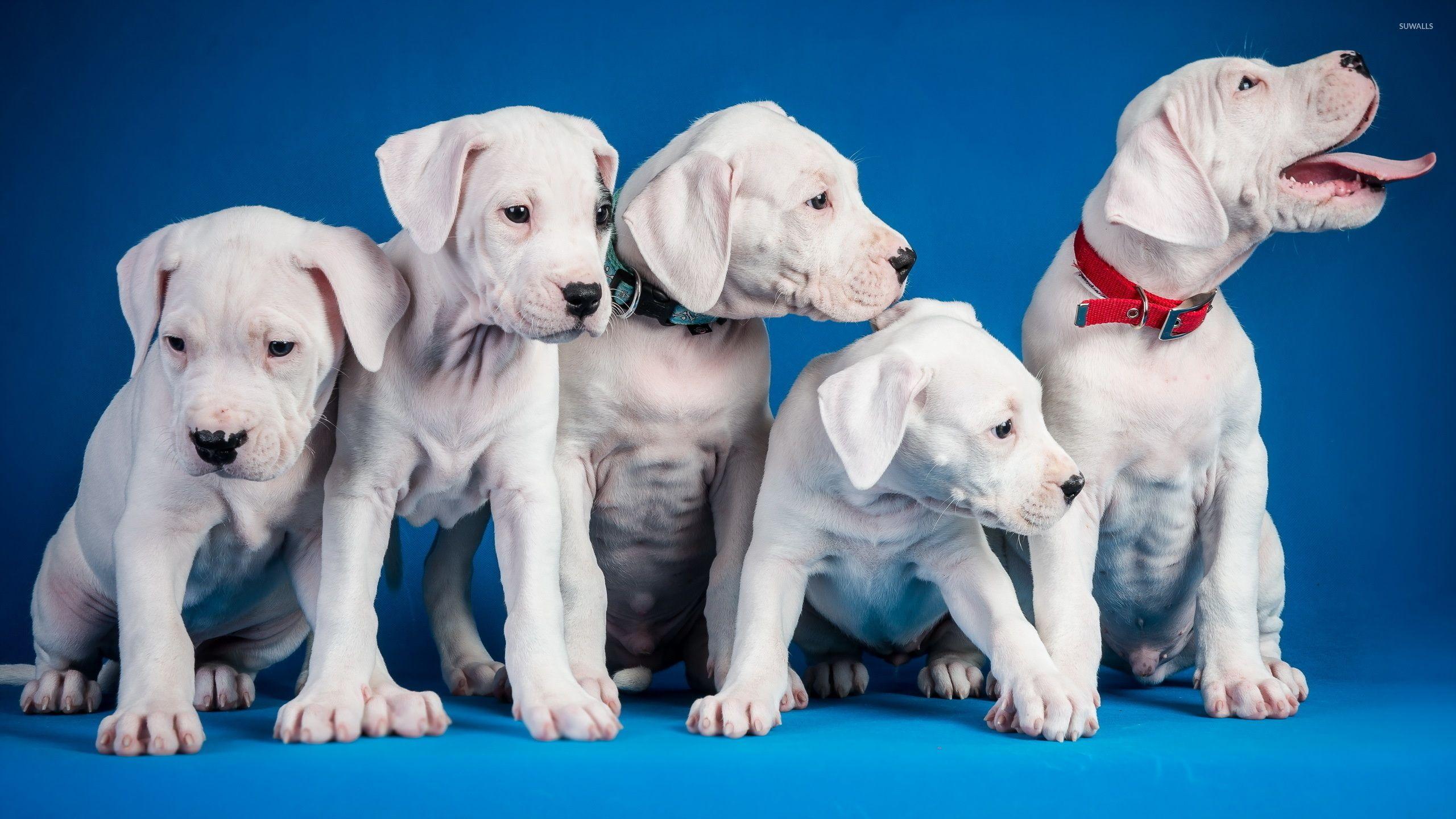 Cute white puppies wallpaper walldevil art wallpapers pinterest