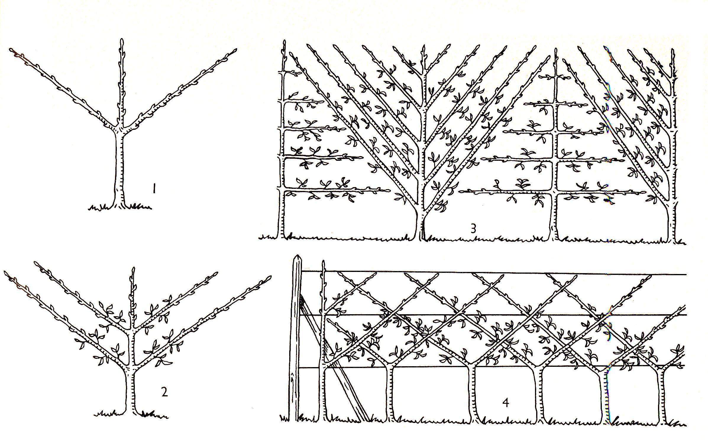Les espaliers potager pinterest fruitier pommier et arbres fruitiers - Quand tailler les fruitiers ...