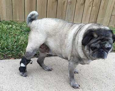 Rear No-Knuckling Training Sock | Dog | Dog socks, Dogs, Socks