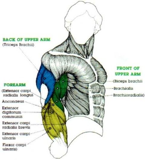 muscles in the arms diagram   Personal   Pinterest   Diagram and Anatomy