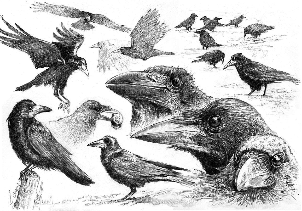 Corbeaux dessins dibujo pinterest corbeau freux - Coloriage corbeau ...