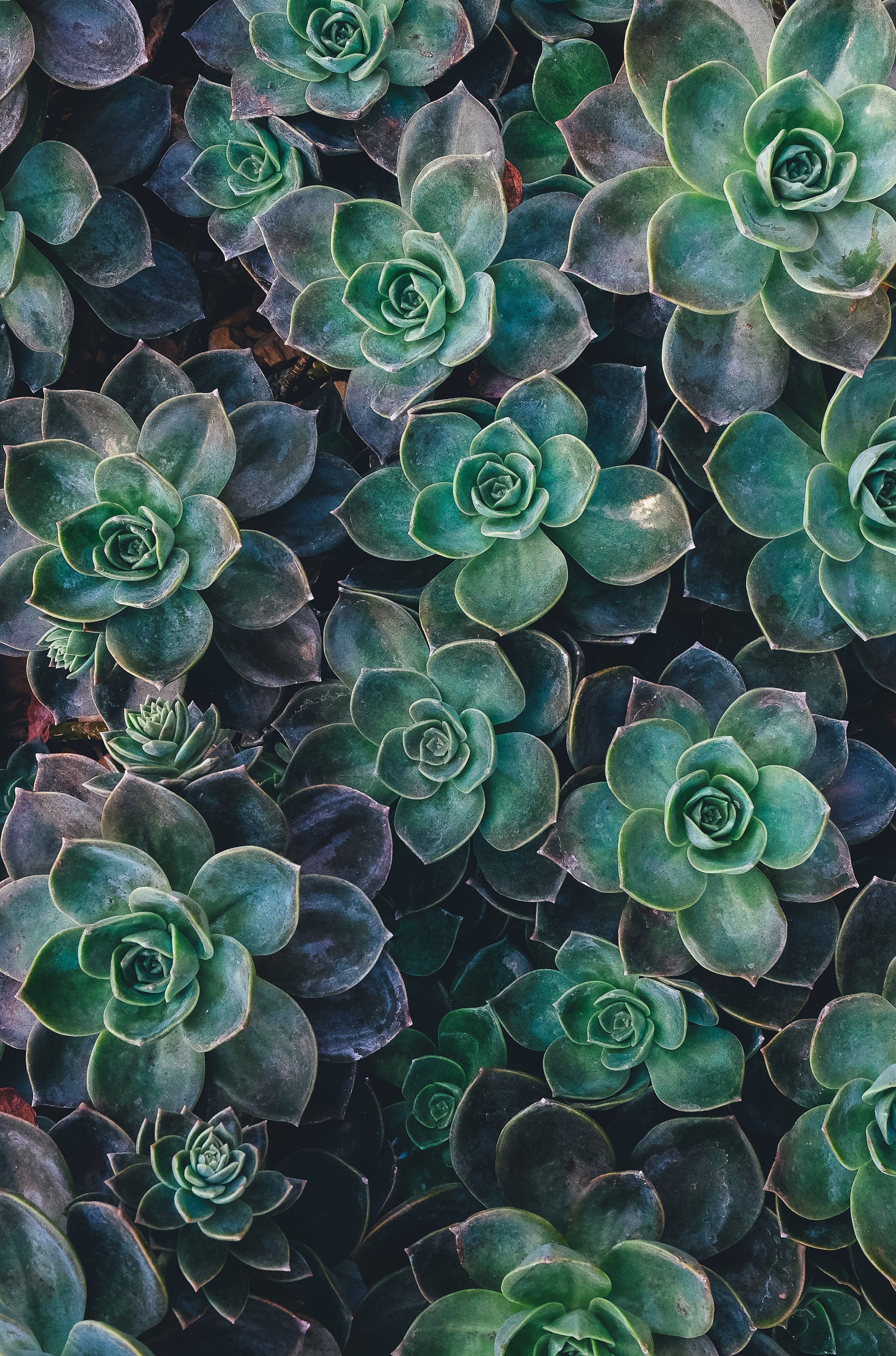 An Overhead Shot With Moist Succulent Rosettes Filling The Entire