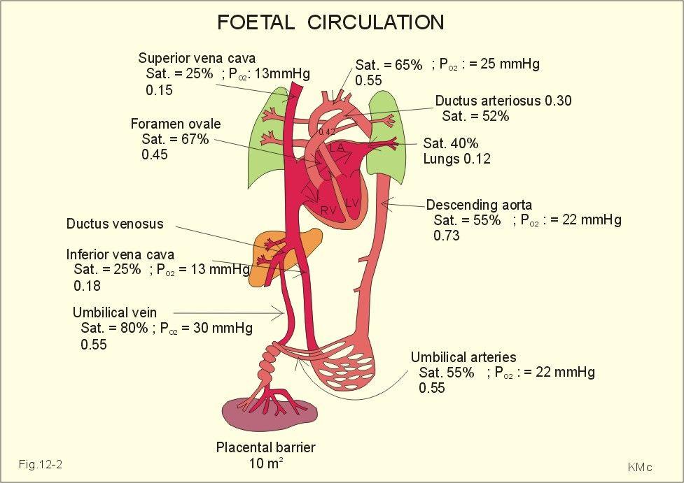 The fetal circulation | R.N. School | Pinterest | Nclex, Respiratory ...