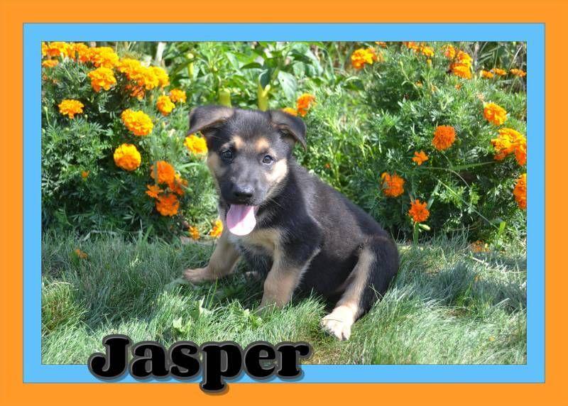 Jasper Male Aca German Shepherd 500 German Shepherd Puppies
