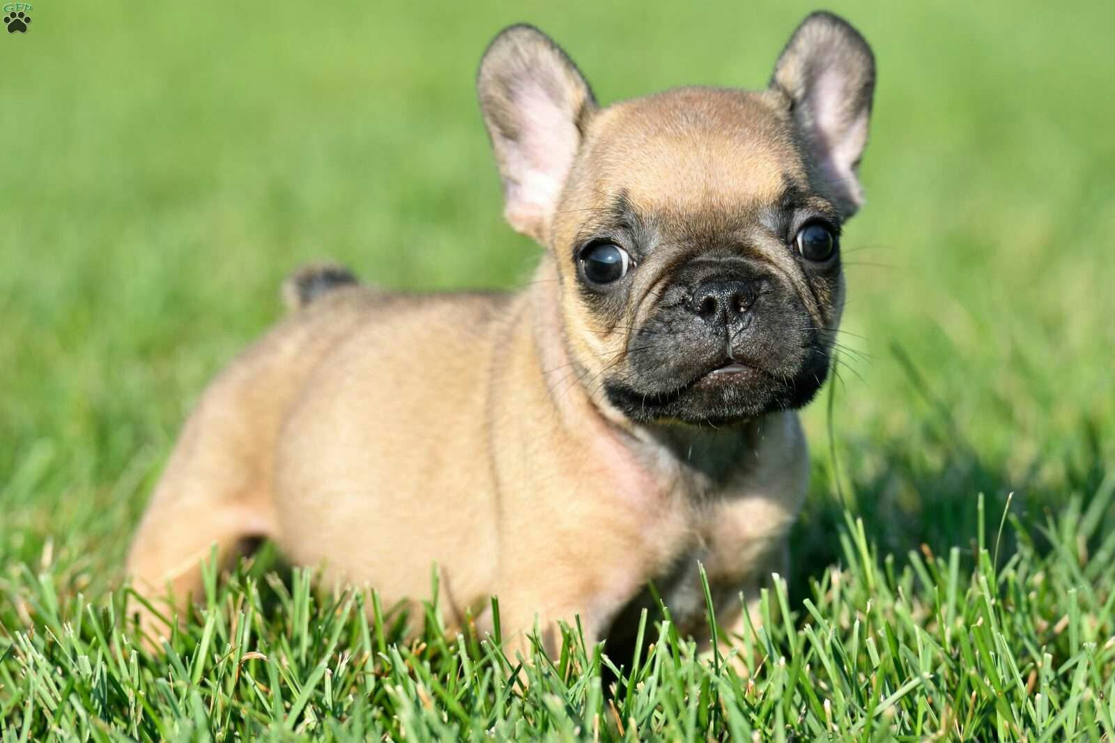 Pin by Dee on Baby Animals French bulldog puppies