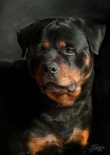 Rotty Dog Breeds Dogs Rottweiler