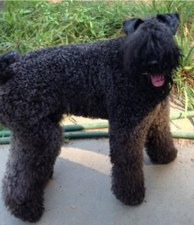 """Lost Pet help find her not mine but she was lot in Hopkington, Ma MeggieMeggieContact Name:Anne Marie  Type of Pet::DogTelephone:508-265-7891  Pet Breed & Coloring/Description::Kerry Blue Terrier, looks like black poodle or mini-shnauzerCity:Hopkinton  Gender:FemaleLost Date:03/17/2013  Additional Comments :Friendly, not aggressive, might be unsure of coming to you. Likes treats, should be hungry. Not a big barker but likes to talk """"woo-woo-woo-woo""""."""