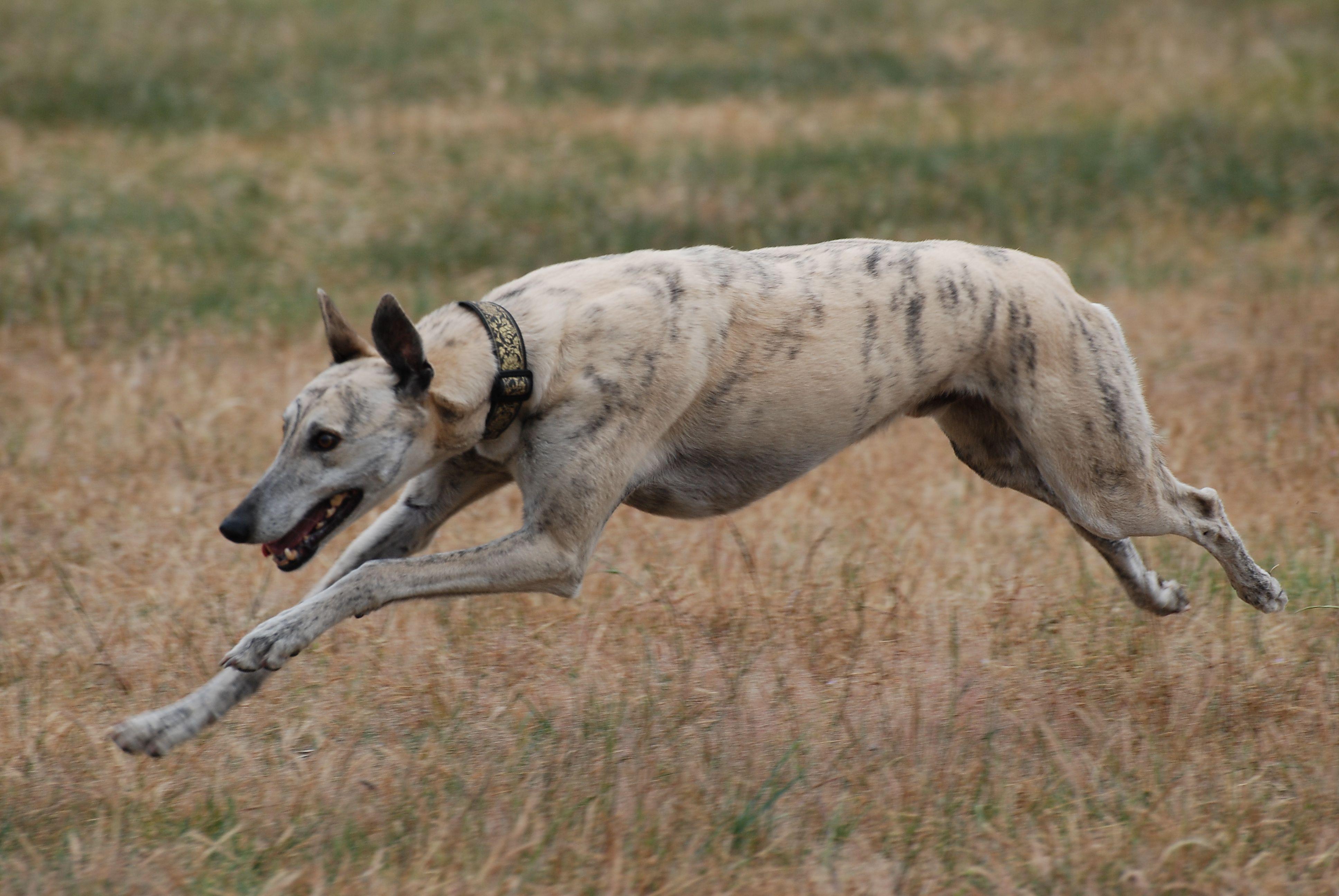 Gorgeous Sandy Greyhound Miles A Resident At The Victoria Australia Greyhound Adoption Program Hq At Seymour Greyhound Adoption Grey Hound Dog Greyhound