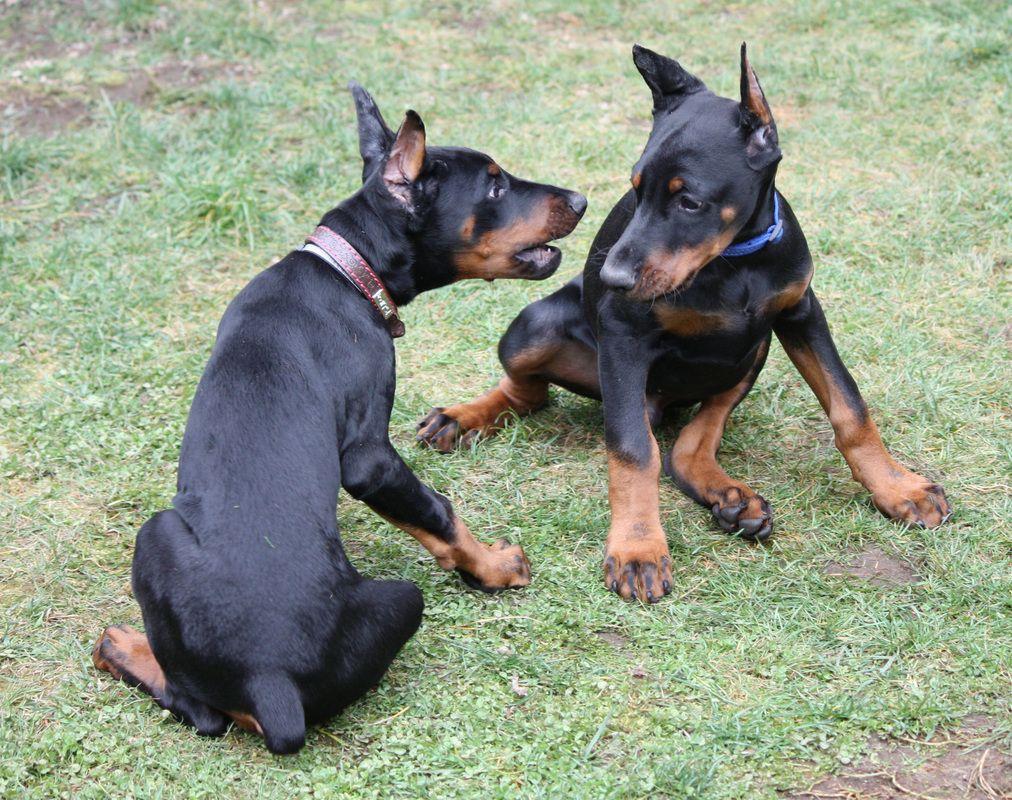 Champion European Doberman Puppies For Sale Ckc Doberman Puppies
