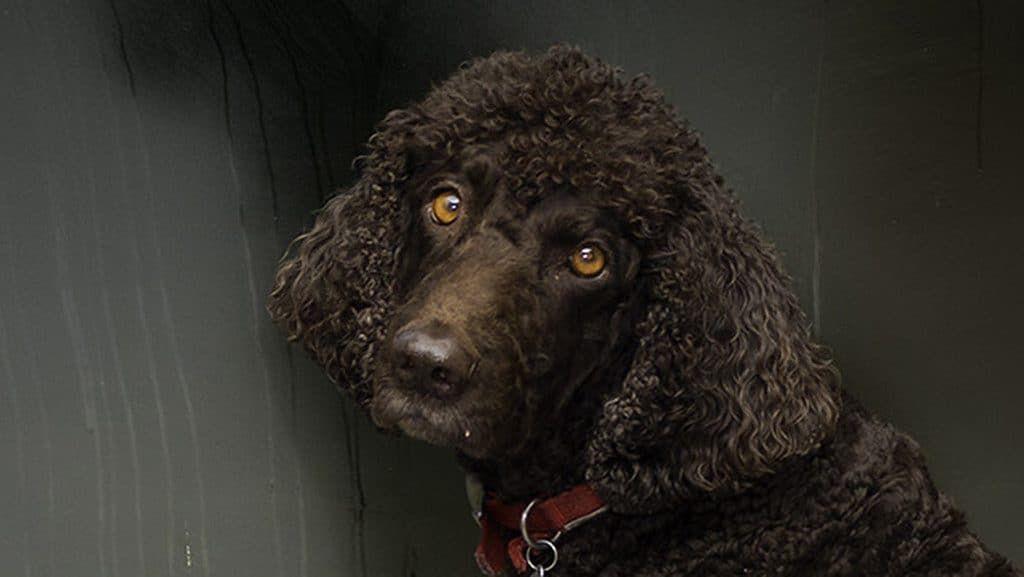 Irish-Water-Spaniel in 2020 | Spaniel breeds, Spaniel dog ...