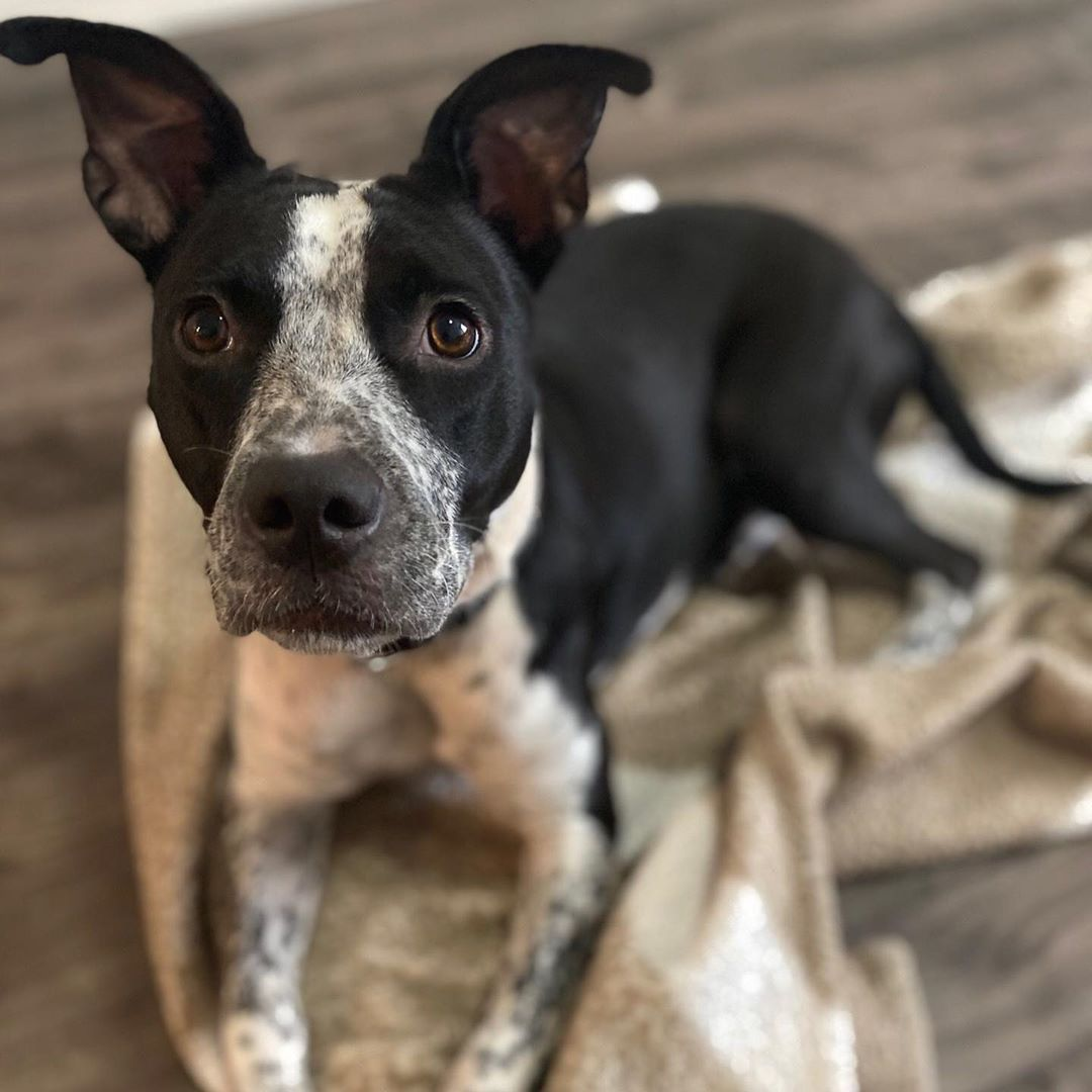 Houston Pets Alive On Instagram Emmylou Harris Remains Undefeated At Tug Of War And Is Ready To Confidently Rematch You Every Day For Th Pets Tug Of War Tug