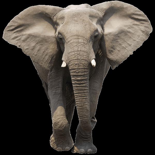 Elefante Frente Png Transparente Stickpng Fotos De Elefantes Imagen Elefante Elephas Maximus