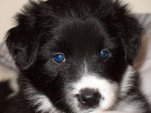 Gemma Border Collie Pup Border Collie Puppies Collie Puppies