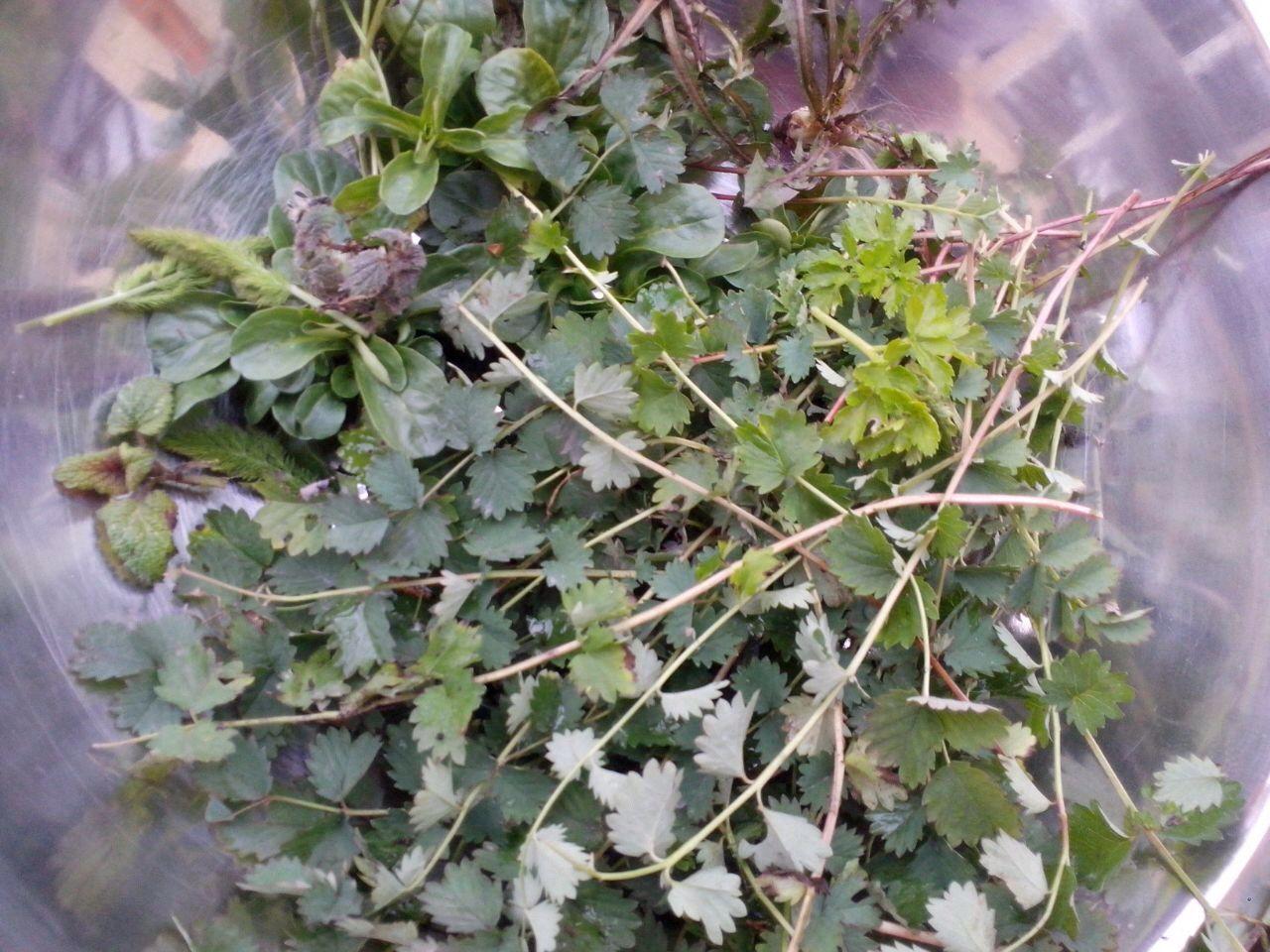 Die frische Pimpinelle aus dem Garten