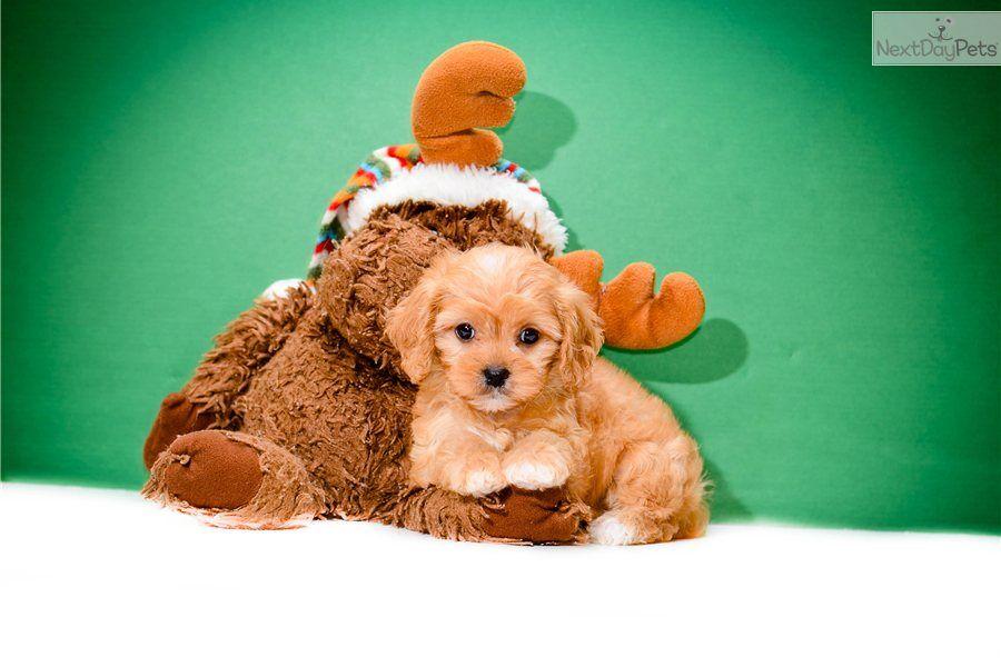 Cavapoo Puppies For Sale Quebec Canada