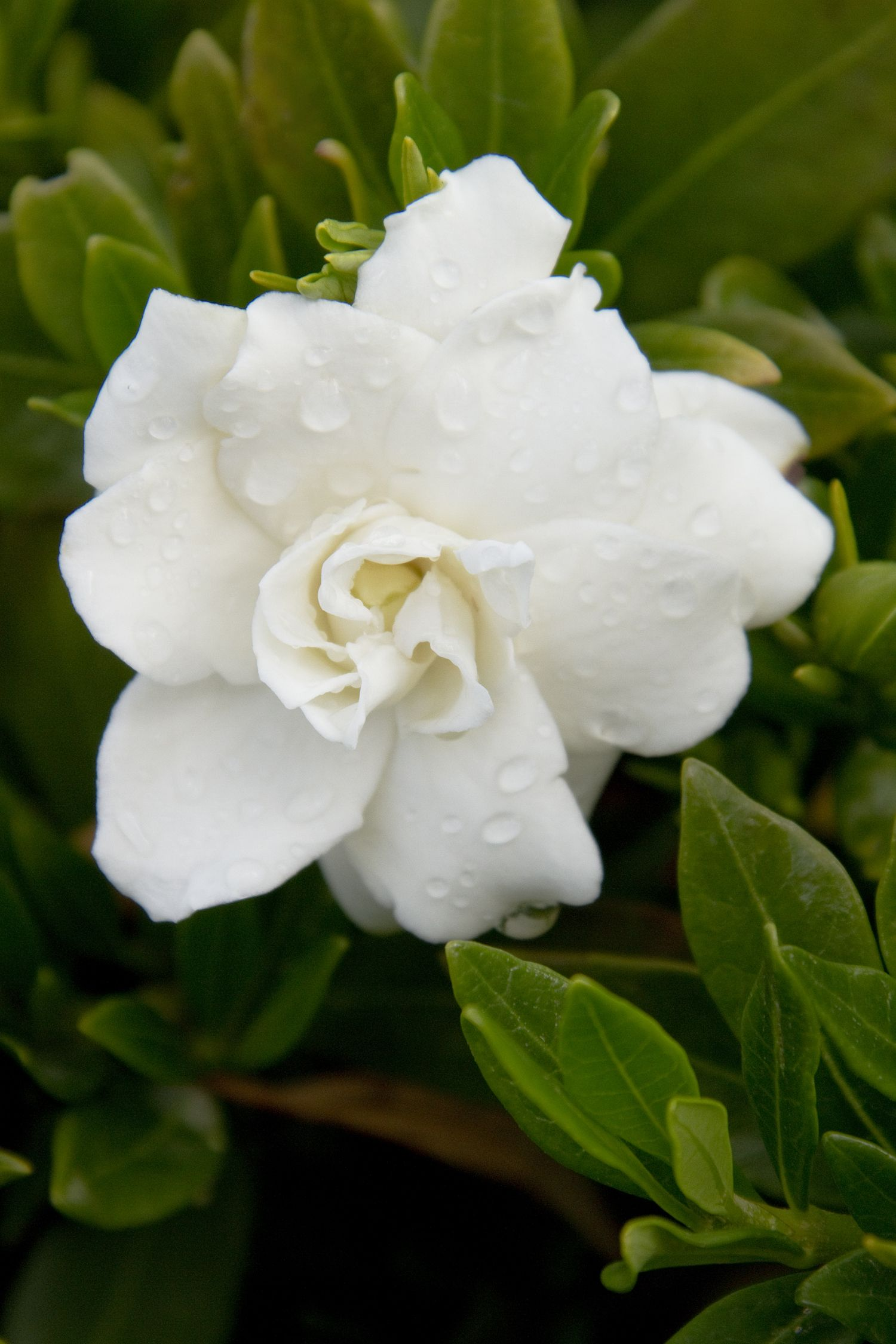 Nothing Compares To The Intoxicating Fragrance Of Miniature Gardenia Late In The Afternoon But Maybe Florida Flowers Flowering Bushes Full Sun Florida Plants