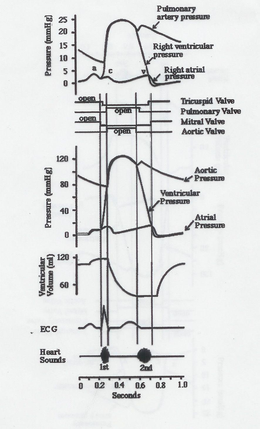 medium resolution of wiggers diagram explained