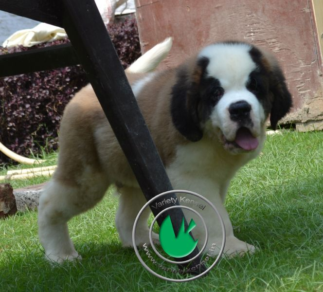 75 Days Male Saint Bernard Pup Available For Sale Variety Kennel