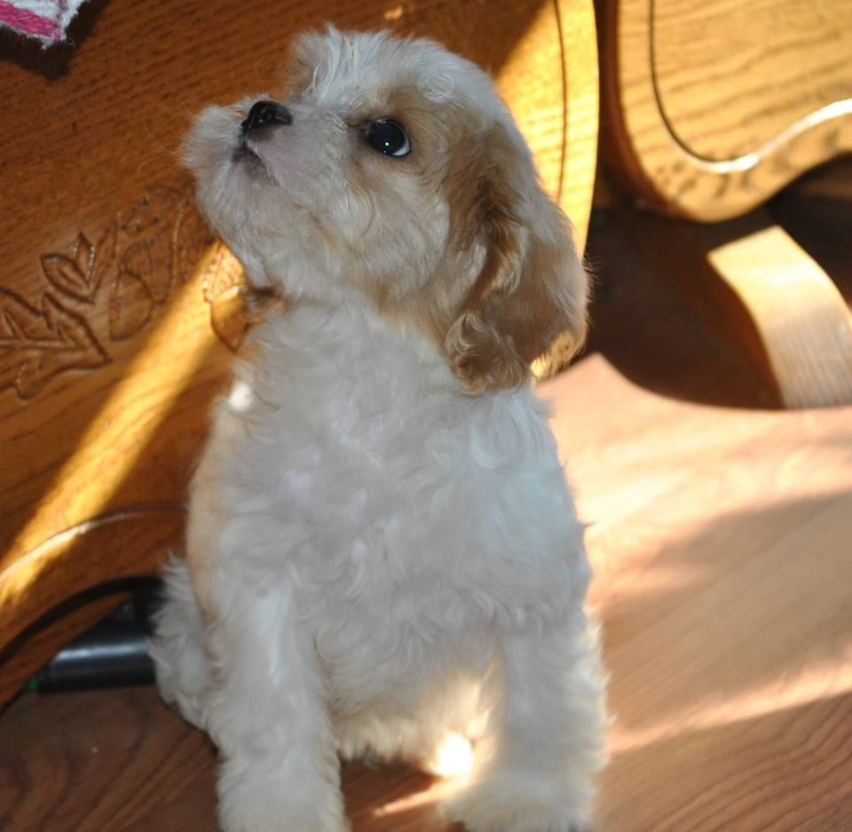 Stump Farm Puppies Are Breeders Located In North East Missouri That Raises The Best Cavapoo S Cockapoo S Maltipoo Cockapoo Cockapoo Puppies For Sale Puppies