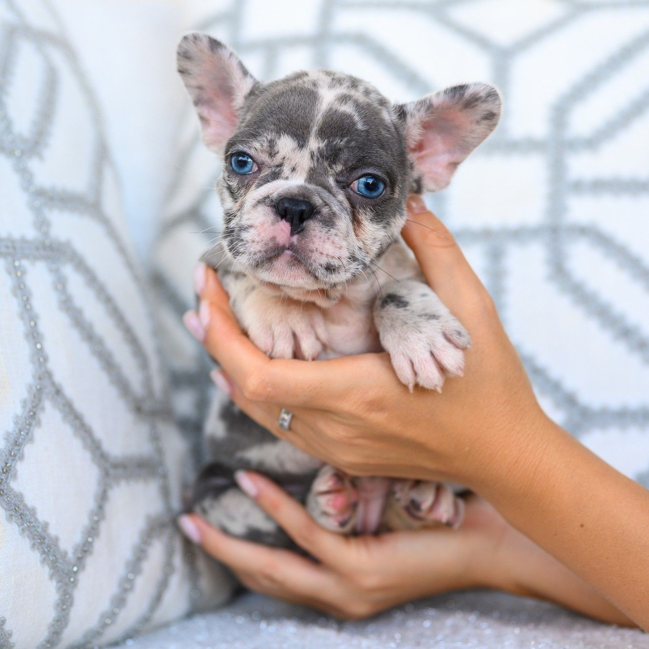 Puppies available French Bulldog USA in 2020 French