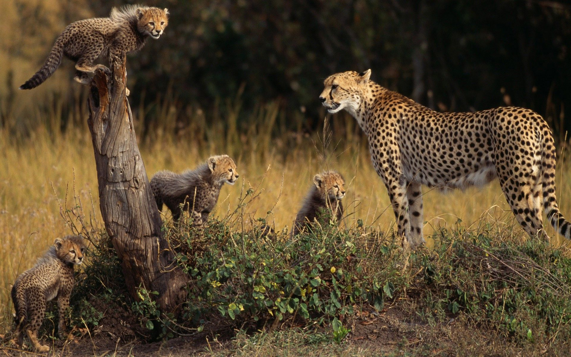Cheetah photos animals hd wallpapers free download | HD Wallpapers ...
