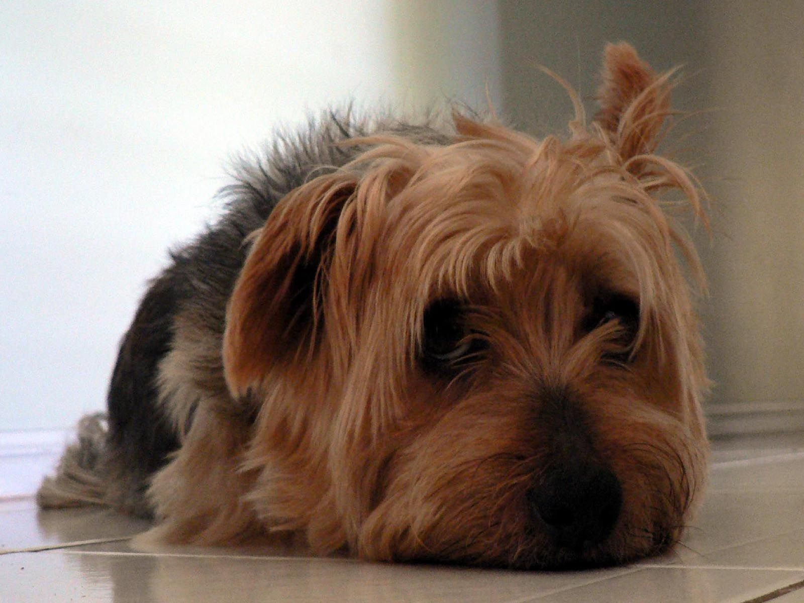 australian silky terrier Animales bonitos, Bonito