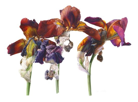 Iris 'Action Front' © Fiona Strickland SBA The Society of ...