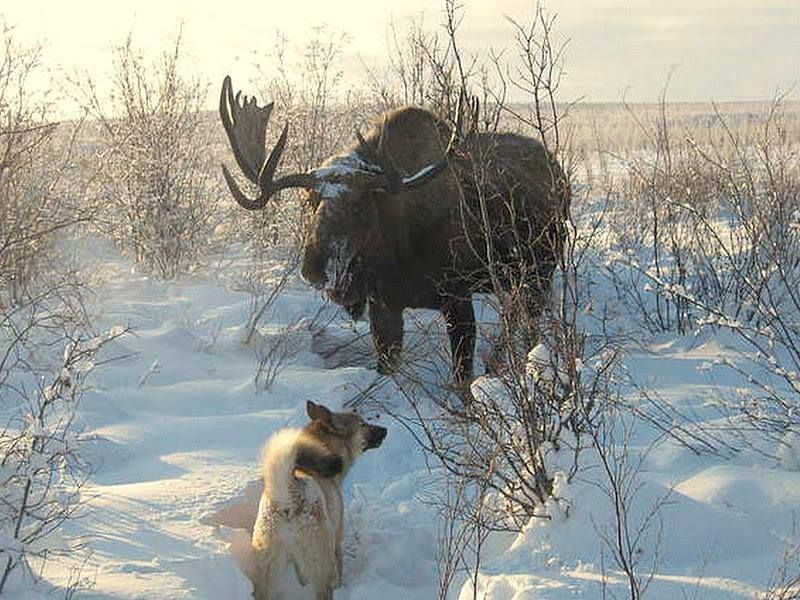 Big Bull Moose faces off with a dog.