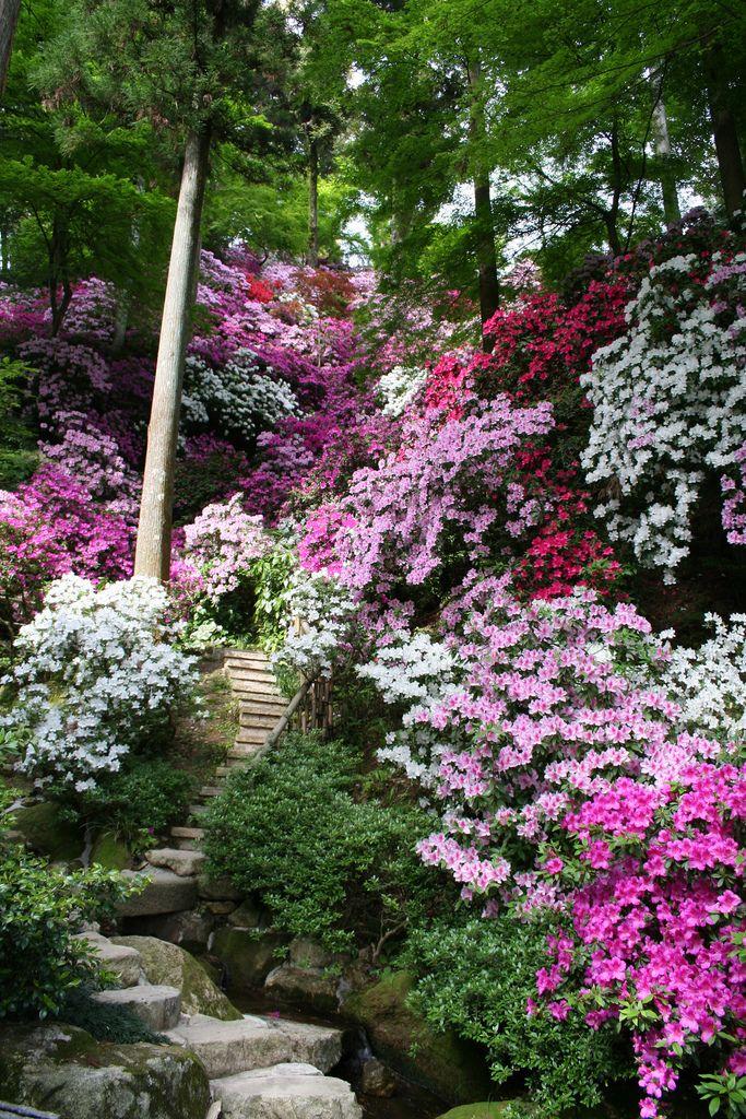 Saga Japan Azalea Flowers 5897 Beautiful Gardens Gorgeous