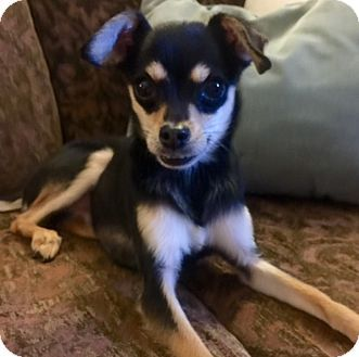 Pin By Patricia Mudge On My Animals Chihuahua Chihuahua Mix