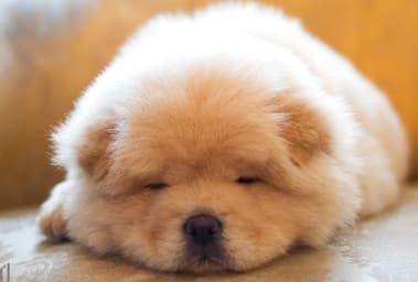 12 Reasons Why Chow Chows Are Underrated Cute Fluffy Dogs