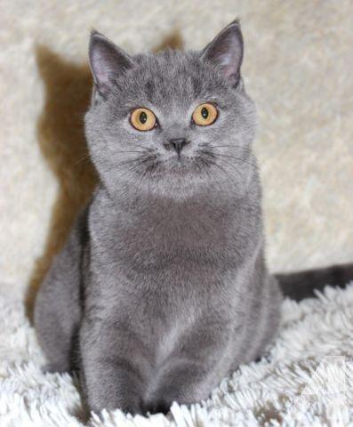 Scottish Straight Blue Kitten Beautiful Cats Kitten Cats