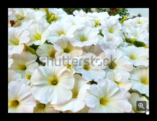 White Petunia Flowers In Germany البطونية زهور البطونية البيضاء Backyard Design Kid Room Decor Backyard
