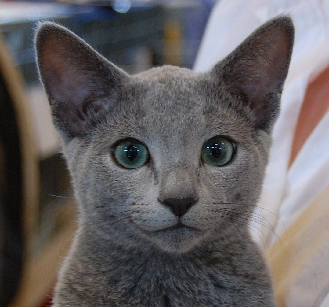 Russian Blue #catbreeds