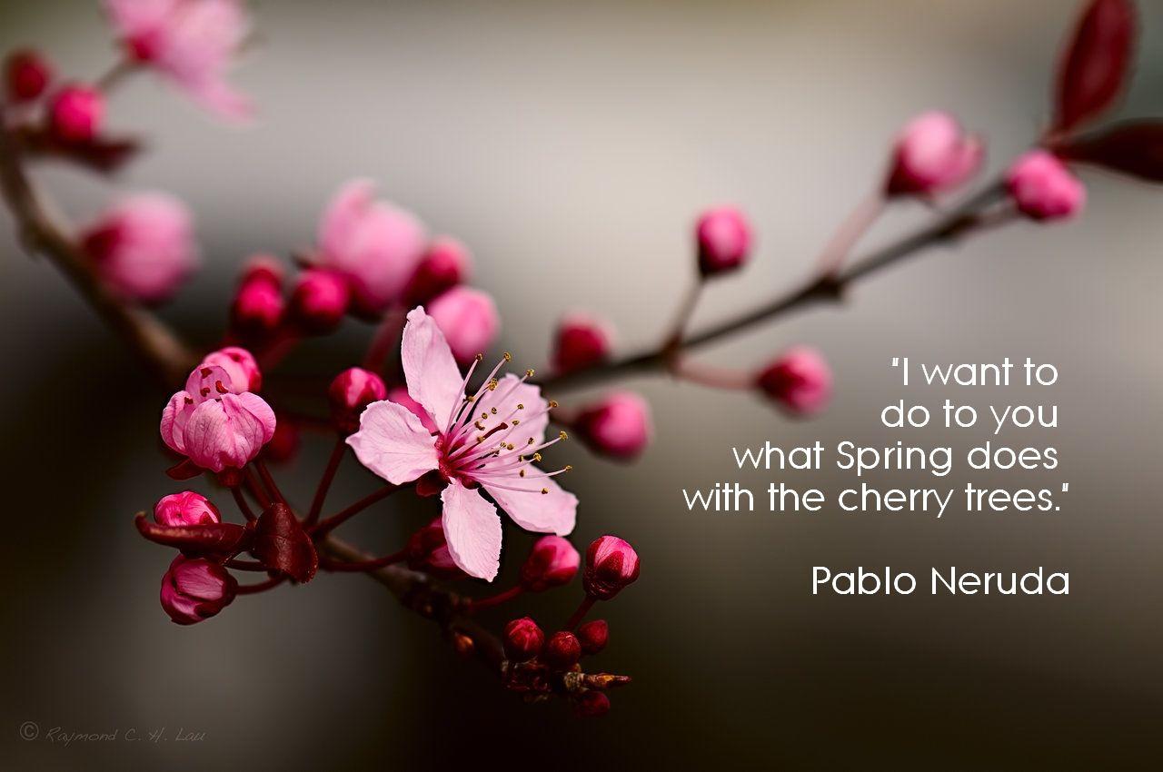 Pablo Neruda Cherry Trees Quotes Cherry Blossom Art Cherry Blossom Tree Cherry Blossom