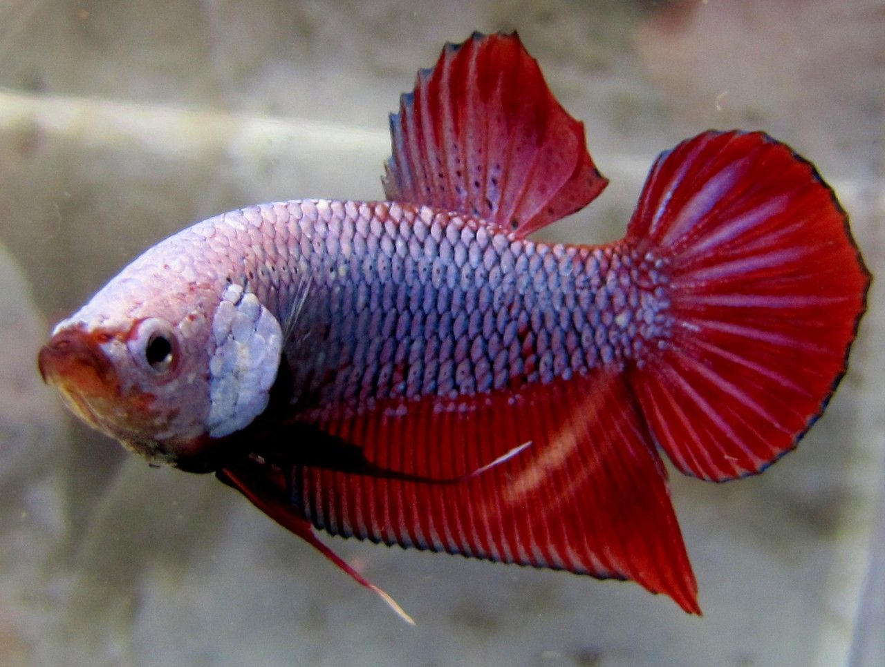 Betta Fish Ick | Top 35 Beautiful Types Of Betta Fish With Amazing Pictures Betta