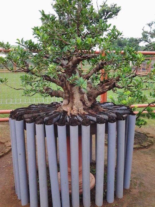 Bonsai Pohon Bonsai Bonsai Tanaman