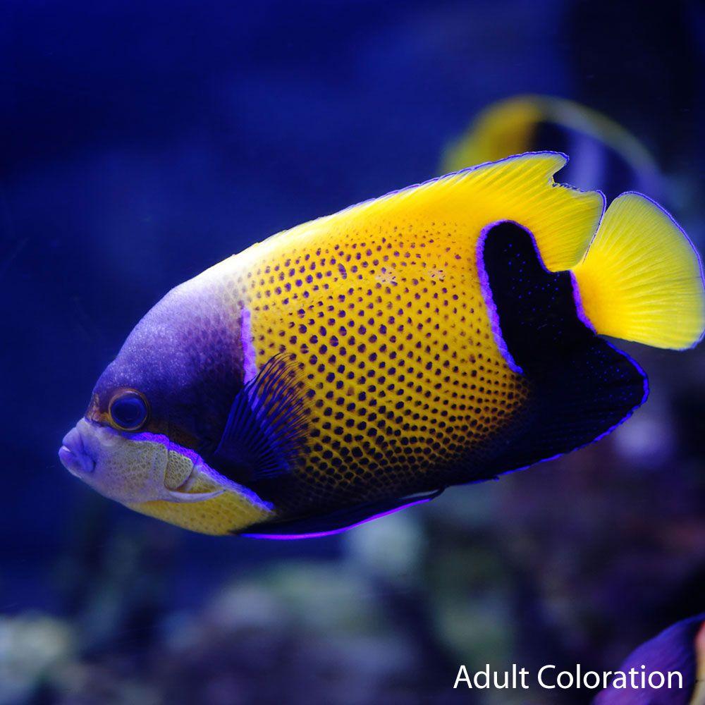 Majestic Angel Marine Fish Salt Water Fishing Fish