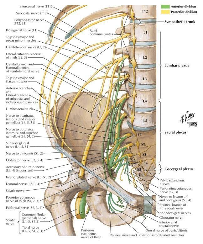 ppt anatomia do nervo femoral