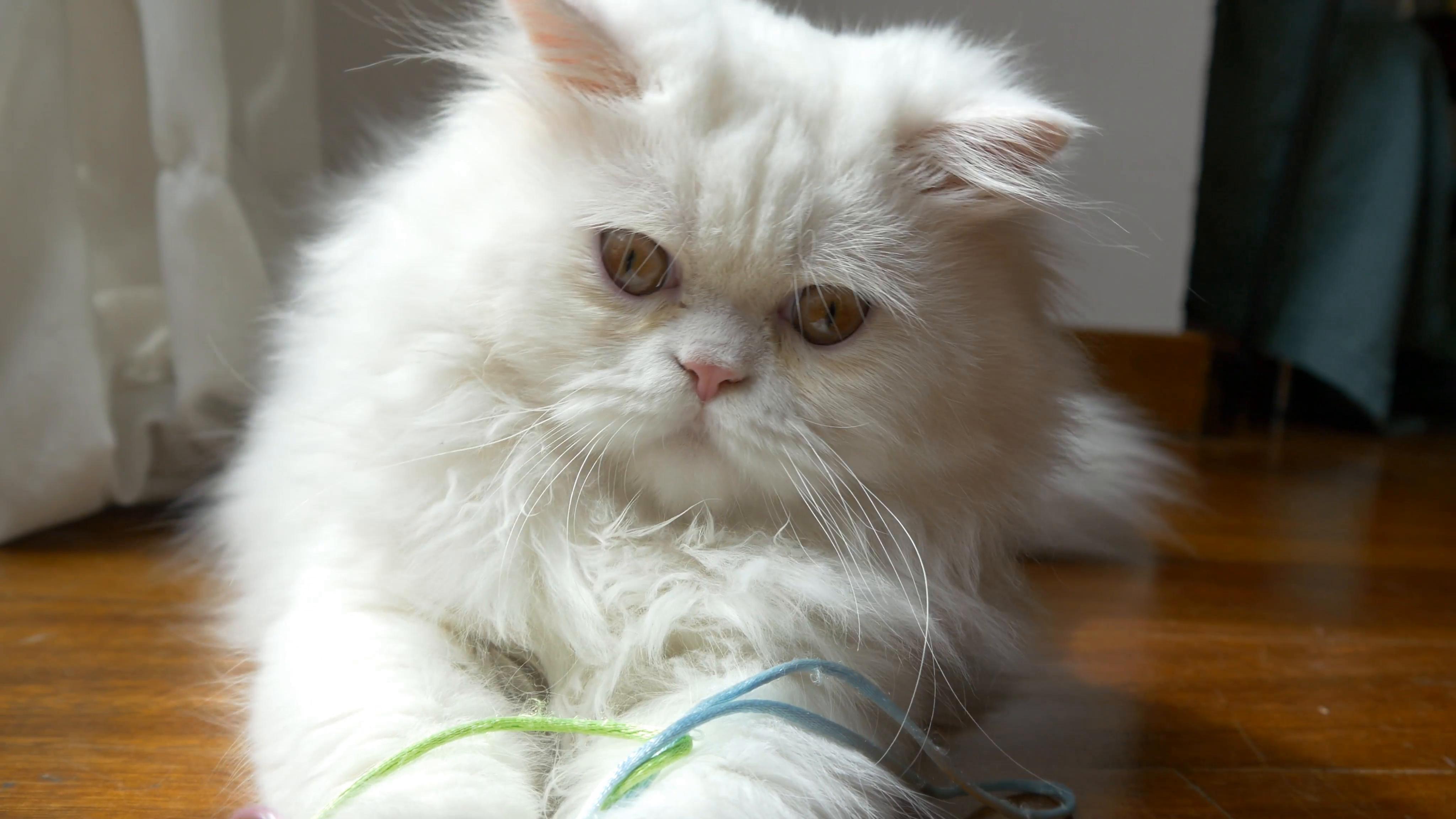 Persian Cat Persian Cat White Persian Cat Tattoo Persian Cat Doll