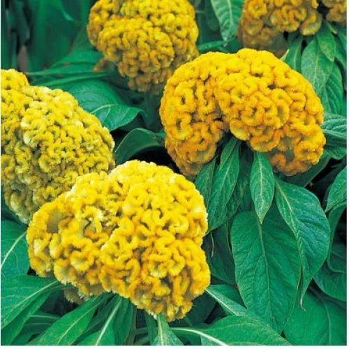 Yellow Celosia Flower Celosia Armor Yellow Celosia Flower Flower Garden Flower Farm