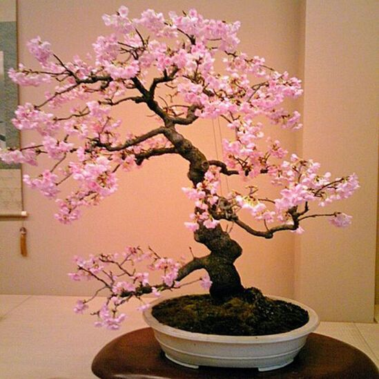 Free Shipping 20 Pink Cherry Tree Seeds Diy Home Garden Mini Bonsai Easy Growing Affiliate Japanese Bonsai Tree