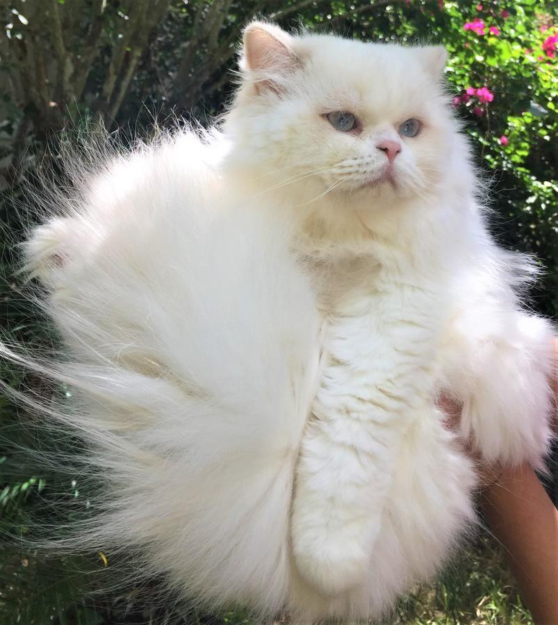 Scottish Fold And British Shorthair/longhair Kittens For