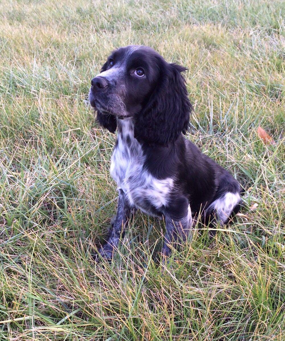 Mack, black/blue roan English Springer Spaniel puppy | Spaniels