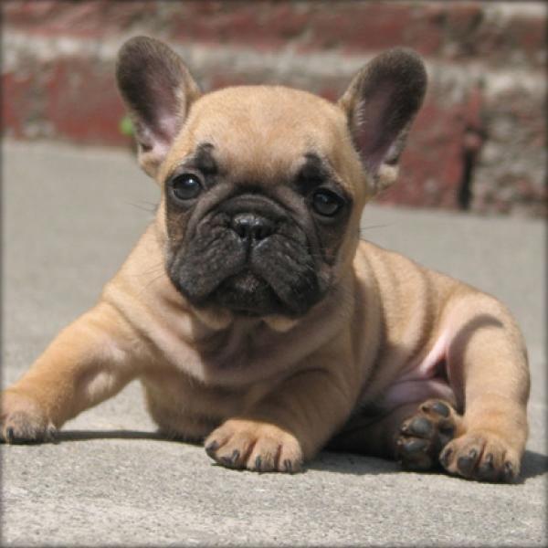 Kleines Bubu French Bulldog Puppies