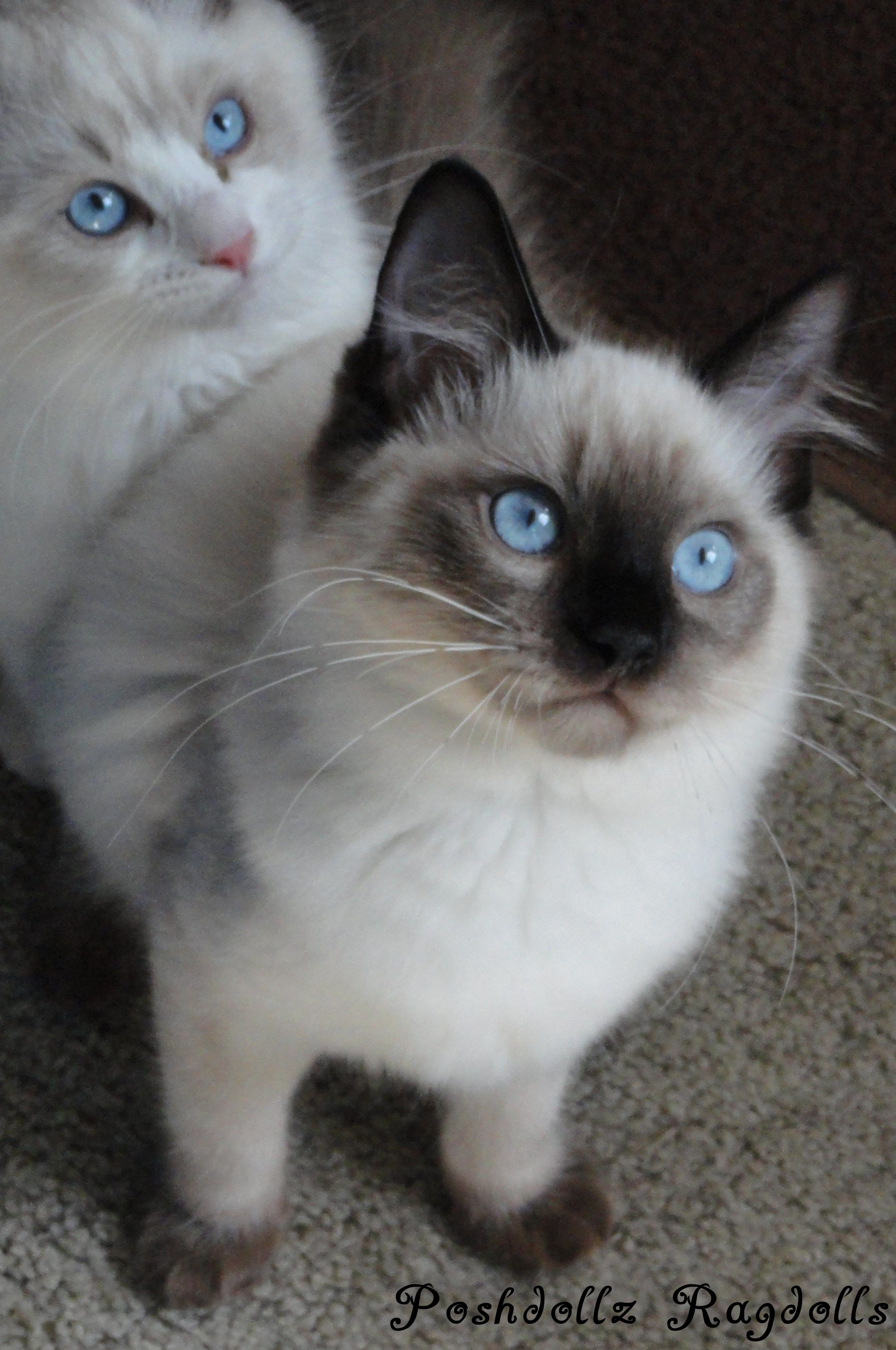 Seal Colorpoint Ragdoll Kitten POSHDOLLZ RAGDOLLS