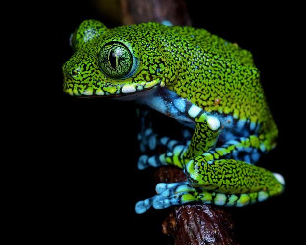 Peacock or Big-eyed Tree Frog, Tanzania